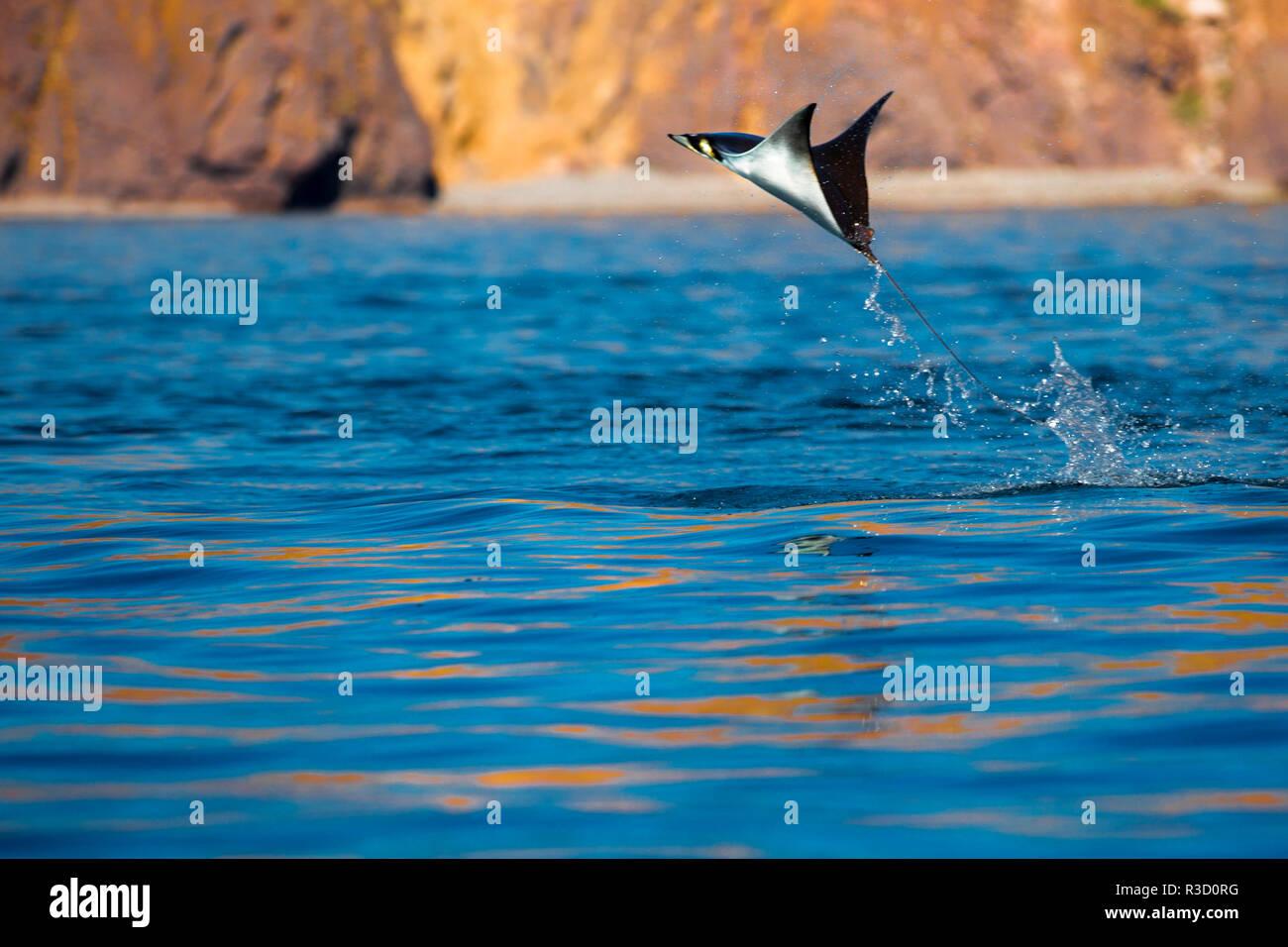 Springen Mobula Ray. Gull Rock. Baja California, Meer von Cortez, Mexiko. Stockbild