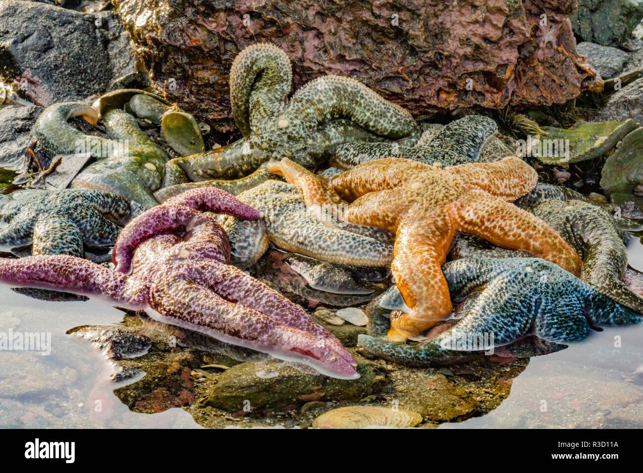 USA, Alaska. Ein Haufen von verschiedenen farbigen Sea Stars bei Ebbe. Stockbild