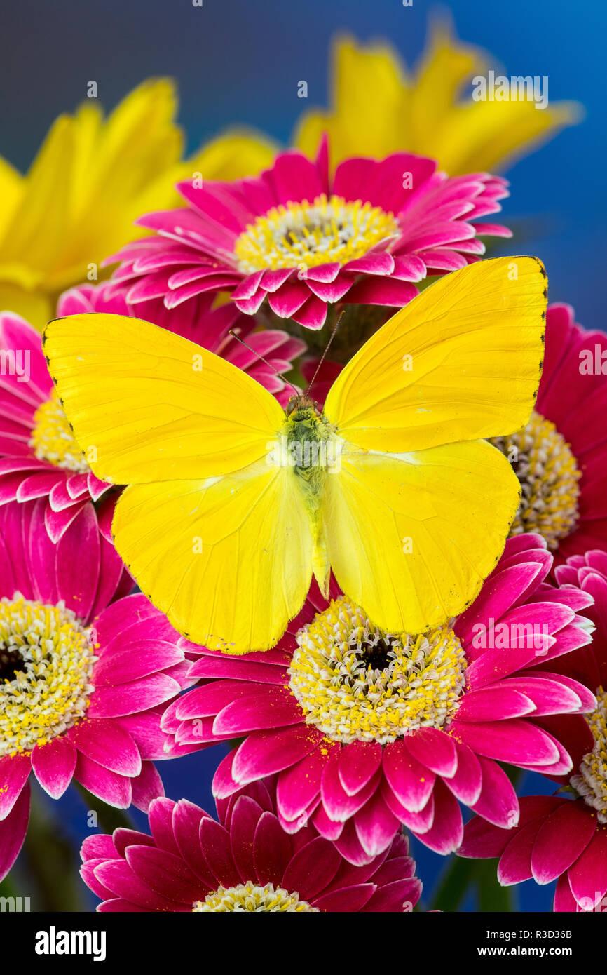 Wolkenlosen Schwefel Schmetterling, Phoebis Sennae auf Rosa Gerber Daisy Stockbild