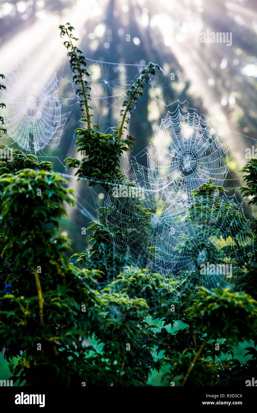 Bremerton, WA. Verwirrte Spinnweben hängen von den Bäumen Stockbild