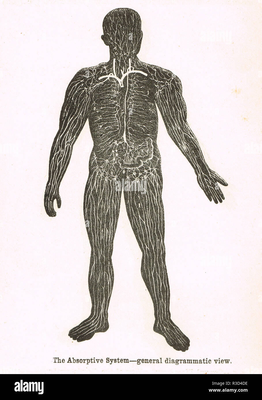 Die absorptionskapazität System, menschlichen Körper. Diagramm aus dem 19. Jahrhundert. Stockbild