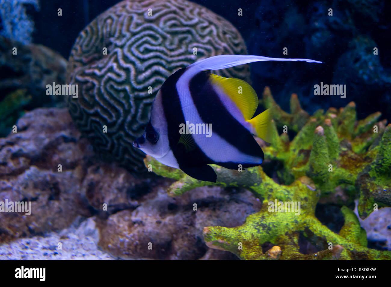 Schone Fische Im Aquarium Dekoration Von Wasserpflanzen Hintergrund Helles Rot Gestreifte Fische Korallen Unterwasser Meer Stockfotografie Alamy