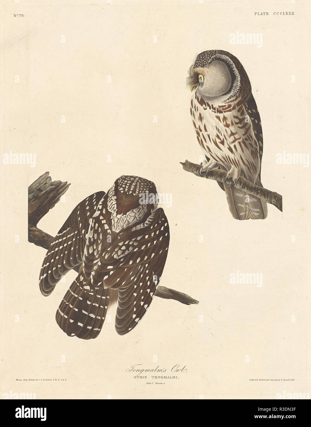 Tengmalm's Owl. Stand: 1837. Medium: Handcolorierte Radierung und Aquatinta auf Whatman Papier. Museum: Nationalgalerie, Washington DC. Autor: Robert Havell nach John James Audubon. AUDUBON, John James. Stockbild