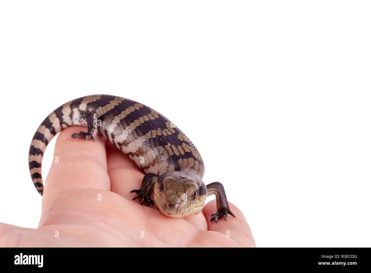 Australier Baby Eastern Blue Tongue Lizard selektiven Fokus und Closeup auf nach Hand auf weißem Hintergrund im Querformat mit Kopie Raum isoliert Stockfoto
