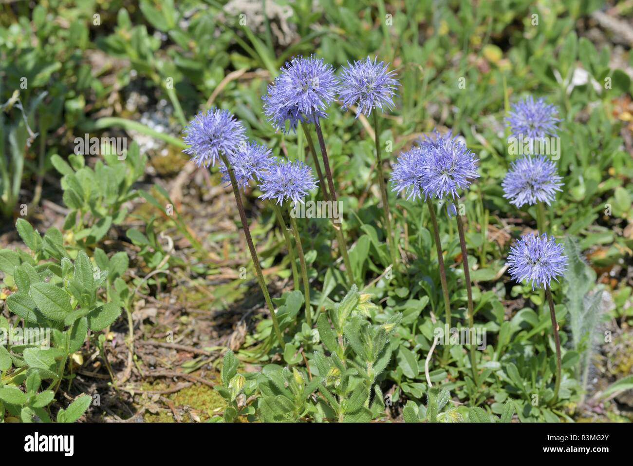 Globus Daisy (Globularia sp) Blumen, Savoie, Frankreich Stockbild