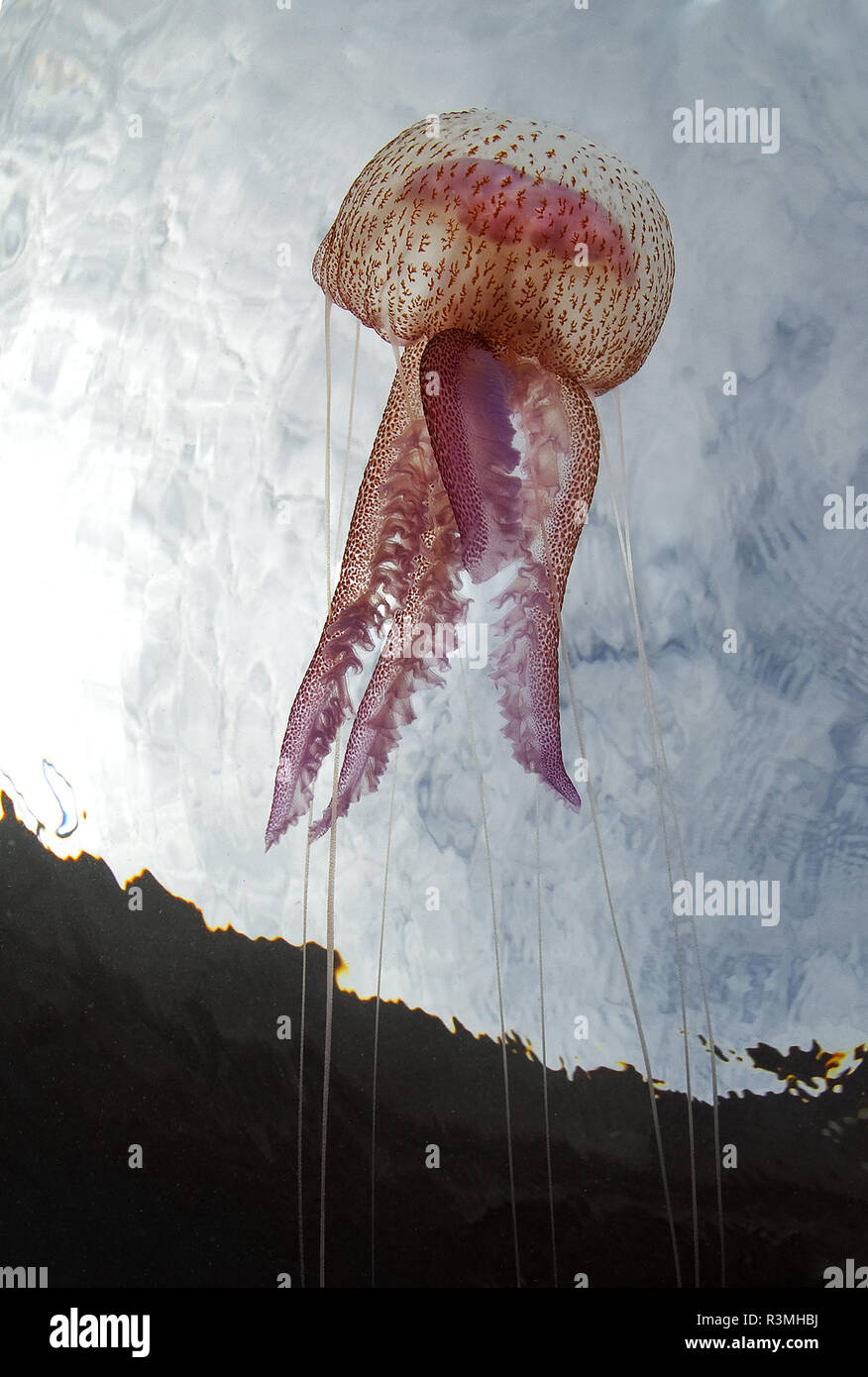 Quallen (Pelagia noctiluca), Teneriffa, wirbellose Meerestiere der Kanarischen Inseln. Stockfoto