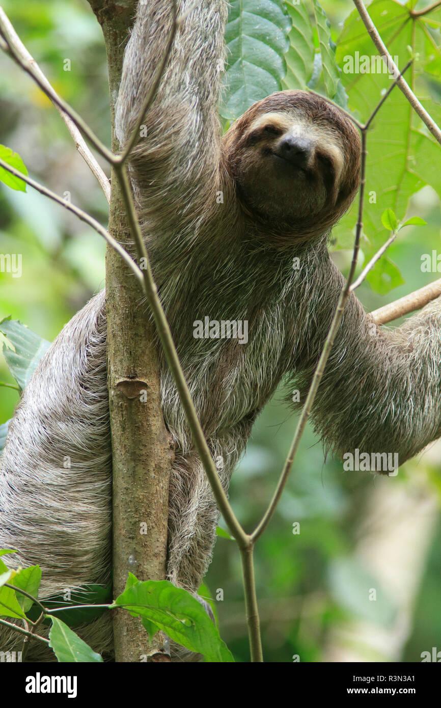 Braun Drei Throated Toed Sloth Bradypus Variegatus Manuel