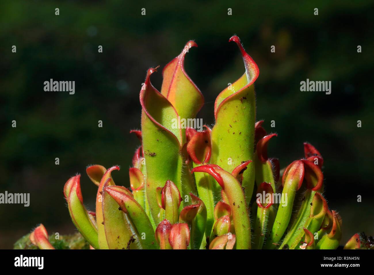 Heliamphora Kannenpflanze (Heliamphora heterodoxa) Stockbild