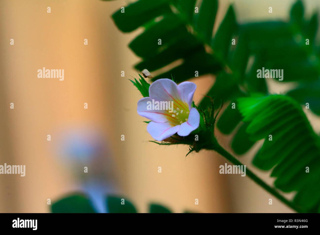 Biophytum sensitivum Biophytum () Blüte Stockbild