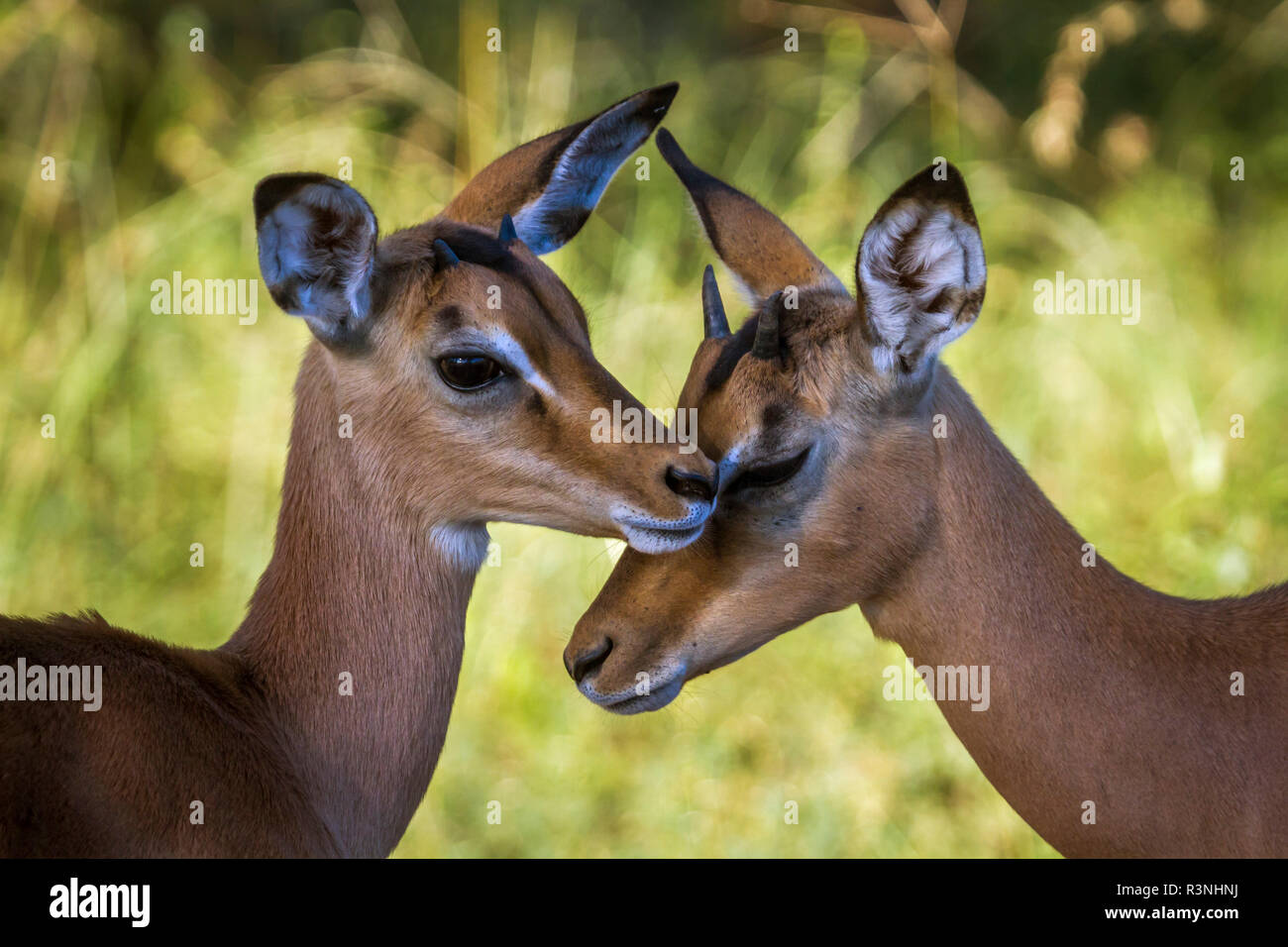 Gemeinsame Impala im Krüger Nationalpark, Südafrika. Specie Aepyceros melampus Familie der Hornträger Stockfoto