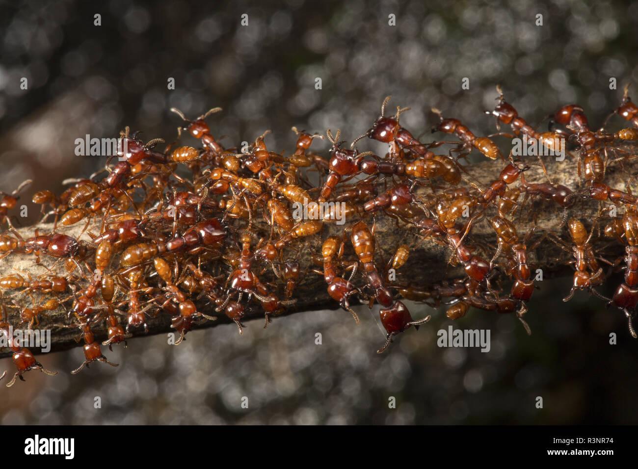Nomade Ameisen, Kamerun Stockbild