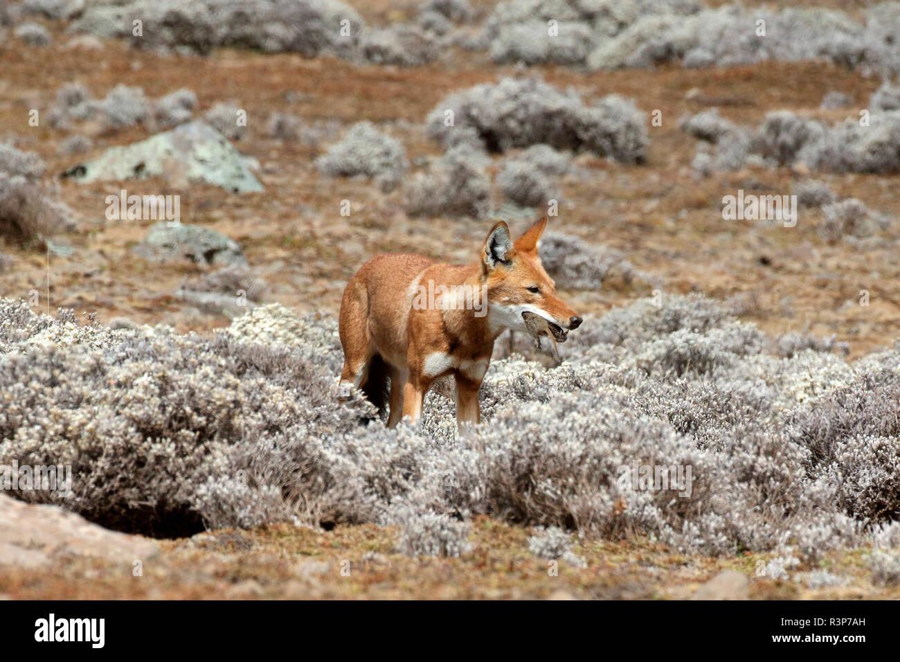 Simian Schakal (Canis simensis) Essen eine Mole Ratte unter Kap Gold, Bale Berge, Äthiopien Stockbild