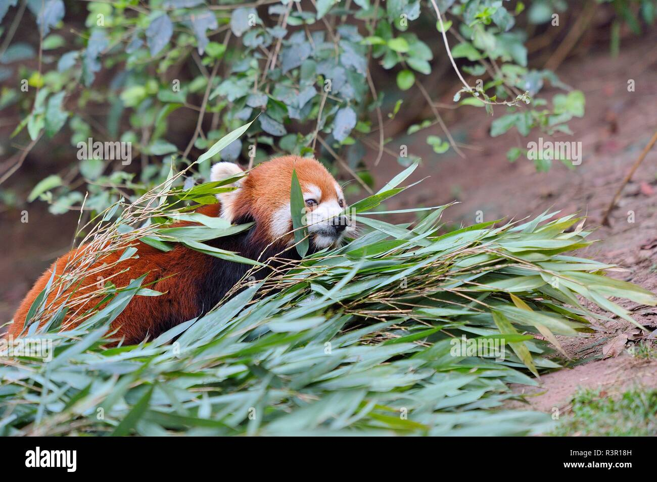 Kleiner Panda Ailurus Fulgens Bambus Essen Chengdu Forschung Und