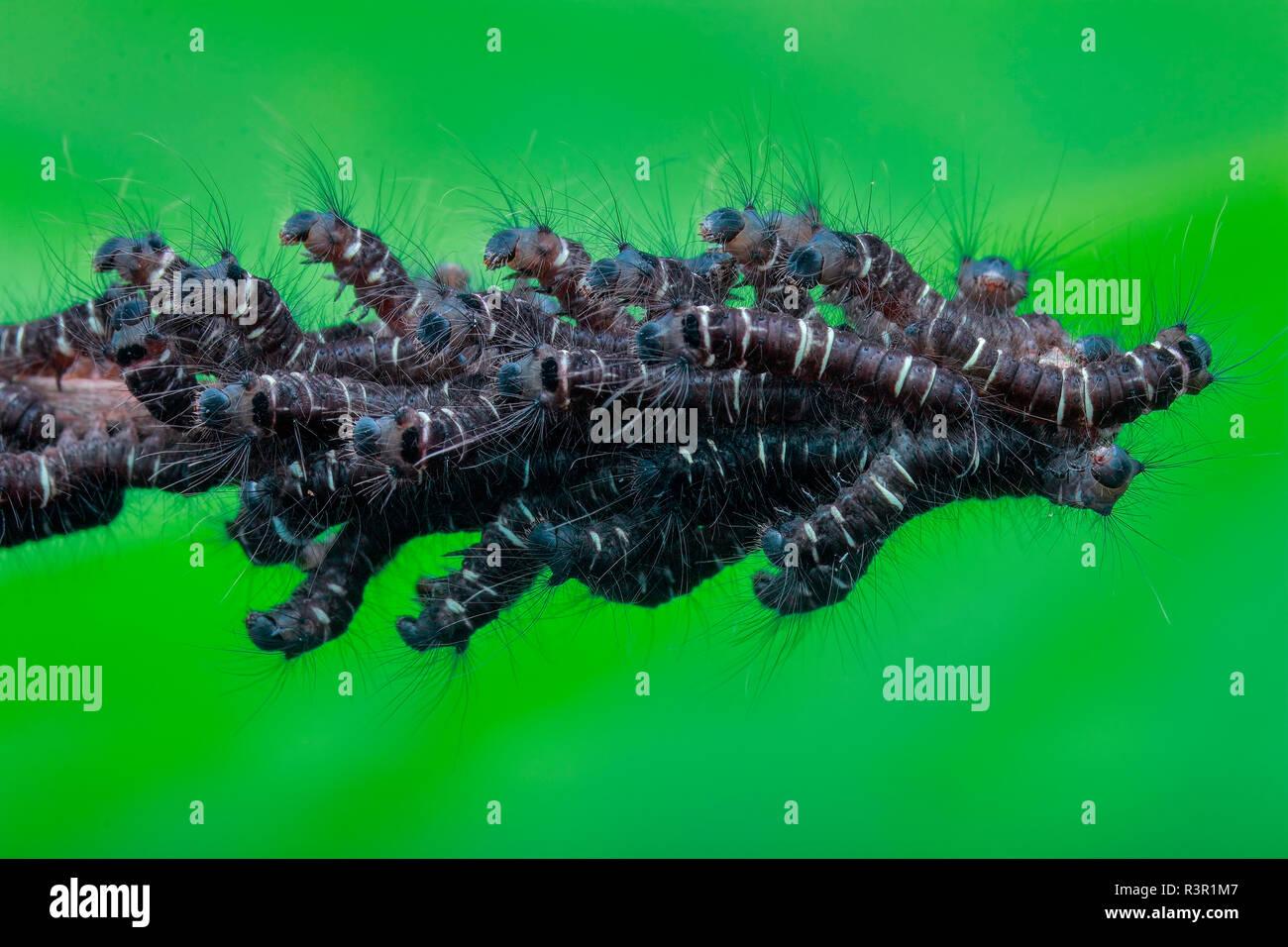 Eine Armee von Raupen auf einem toten Zweig. Stockbild