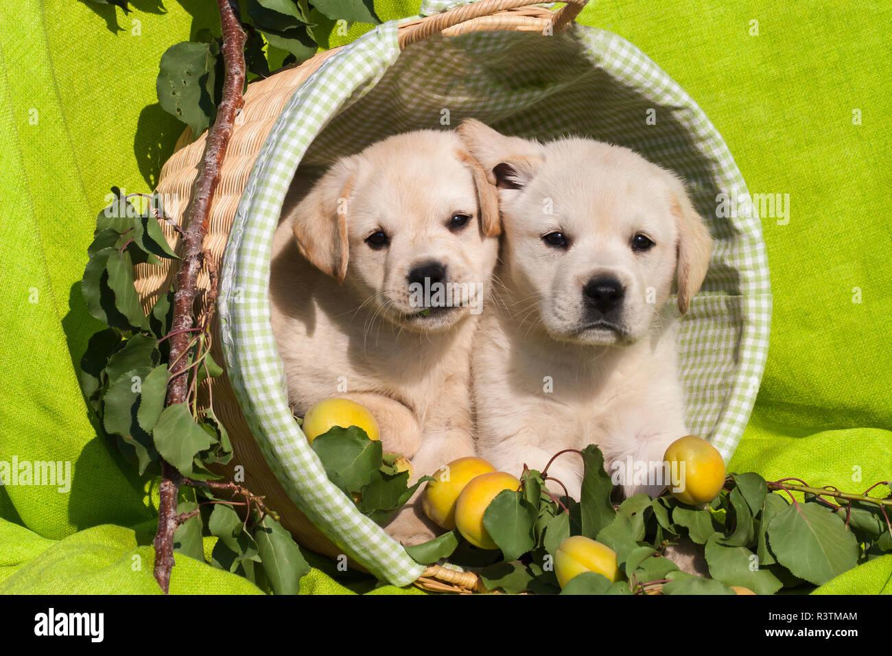 Labrador Welpen In Einem Hundekorb Stockfotos Und Bilder Kaufen Alamy