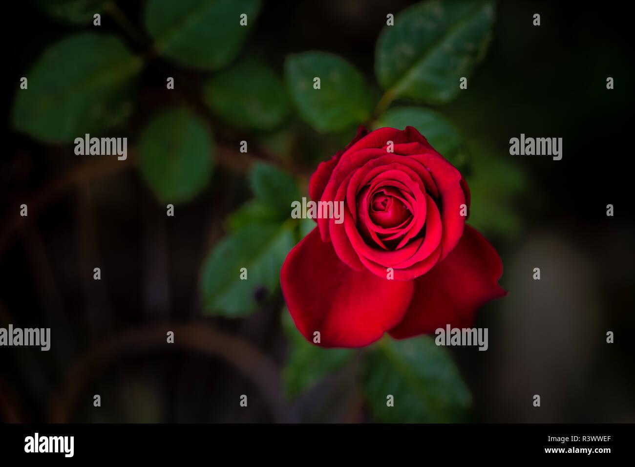 Rote Rose im Garten Stockbild