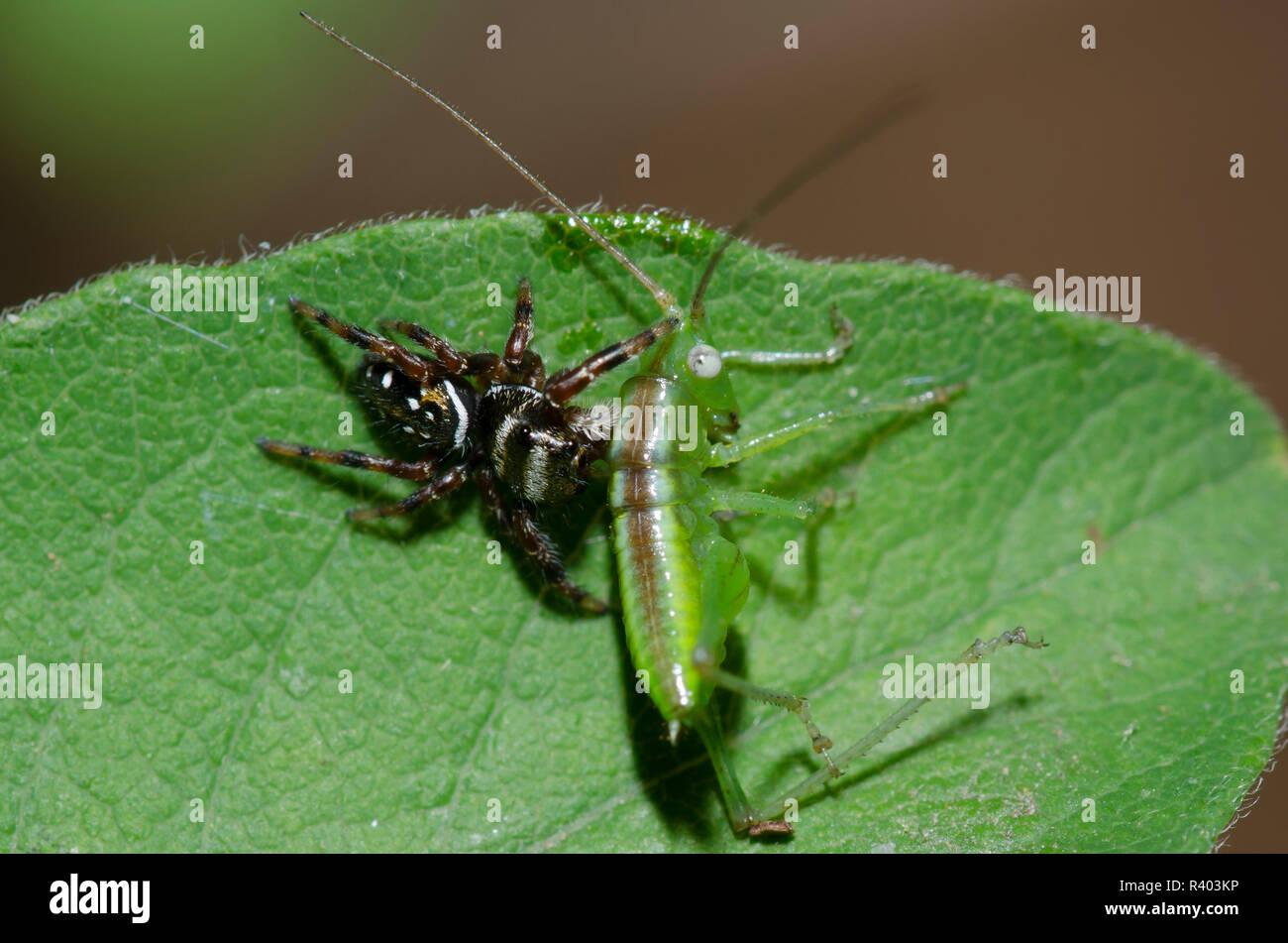 Jumping Spider, Paraphidippus aurantius, mit katydid, Familie Tettigoniidae, Nymphe Beute Stockbild