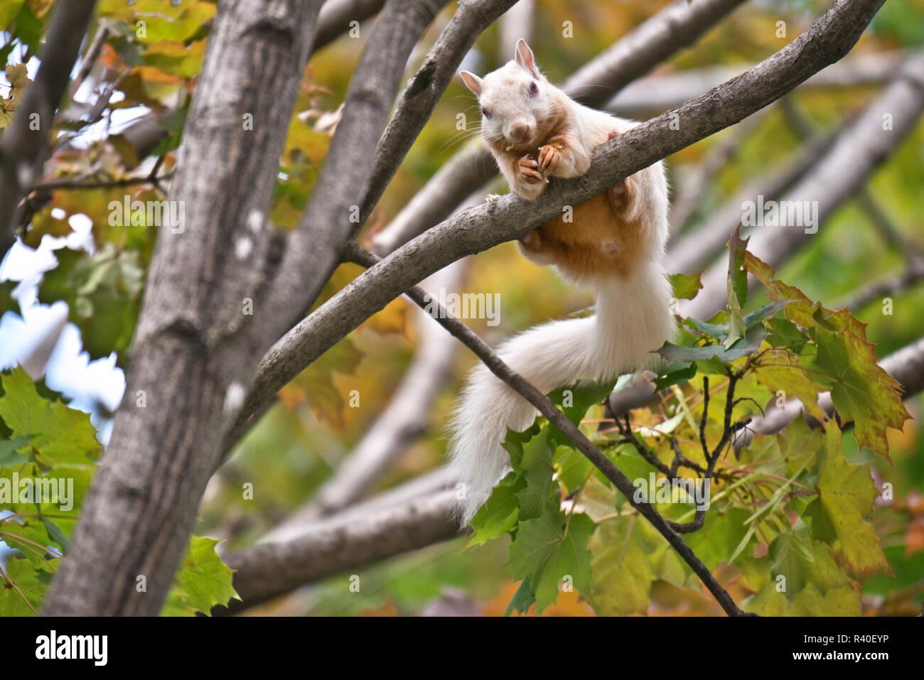 Eichhörnchen interracial