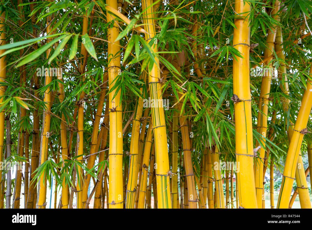 Nahaufnahme von Bambus Bäume im Garten Selektive