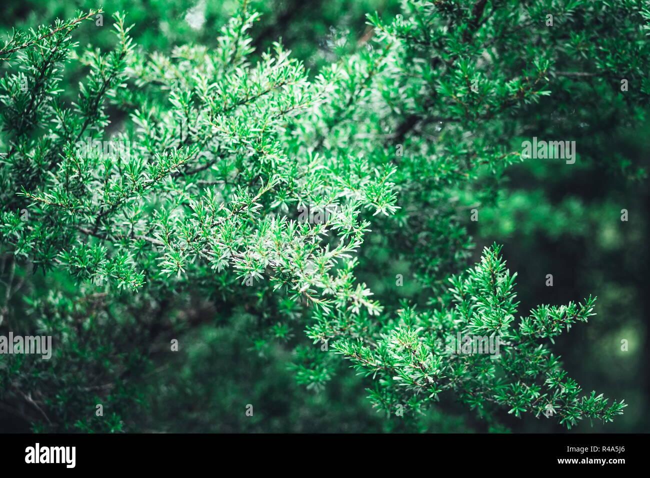 Schließen Sie herauf Bild eines Manuka Baum, der auch als Neuseeland Tea Tree Leptospermum scoparium bekannt. Stockbild