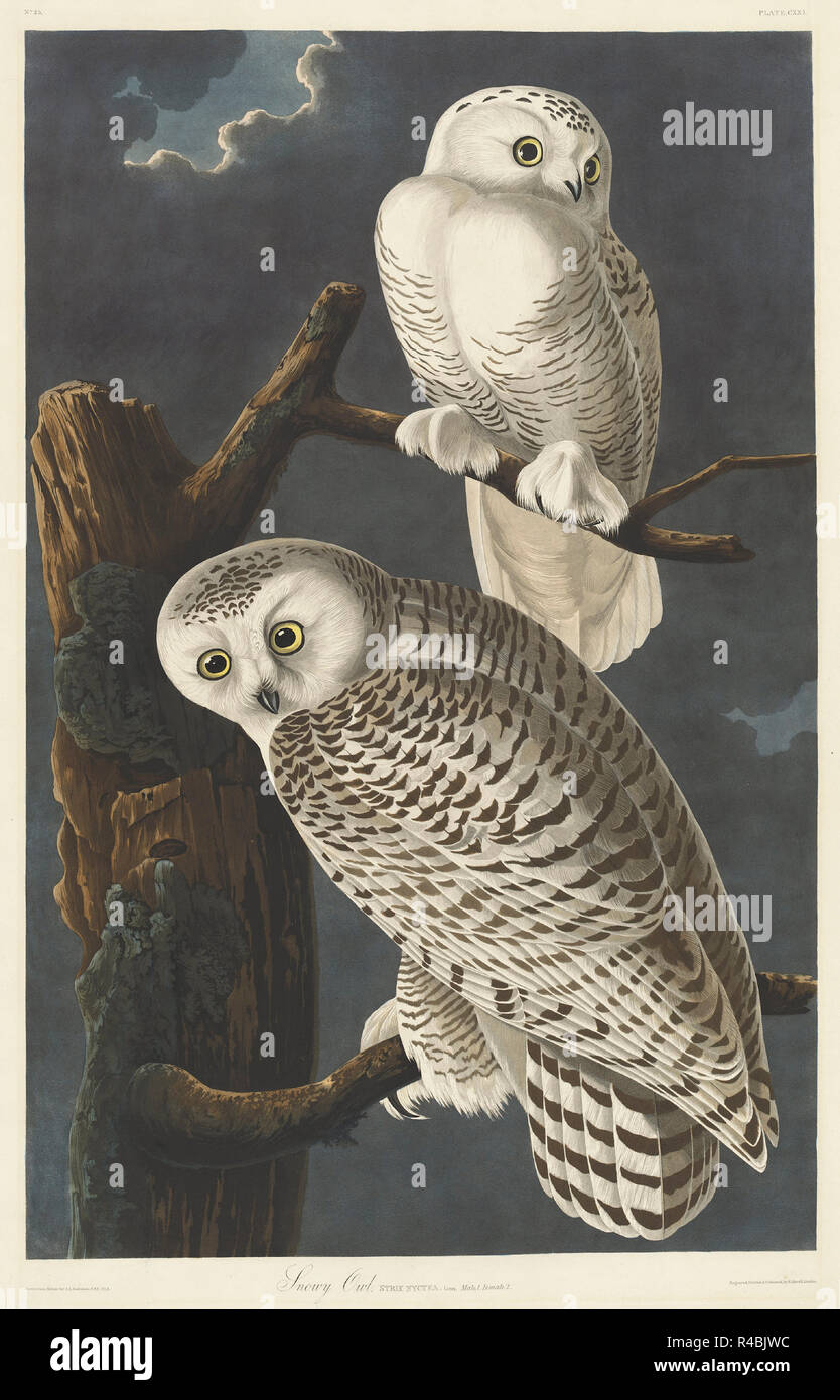 Snowy Owl. Stand: 1831. Abmessungen: Platte: 89,5 x 65,4 cm (35 1/4 x 25 3/4 in.) Blatt: 100,7 x 68 cm (39 5/8 x 26 3/4 in.). Medium: Handcolorierte Radierung und Aquatinta auf Whatman Papier. Museum: Nationalgalerie, Washington DC. Autor: Robert Havell nach John James Audubon. John James Audubon. ROBERT HAVELL DER JÜNGERE. AUDUBON, John James. Stockbild