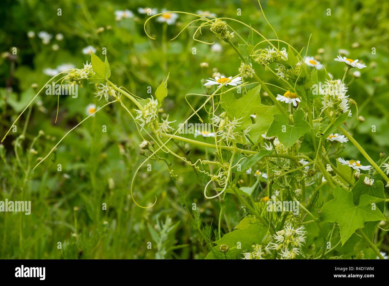 Whild Kletterpflanze Stockbild
