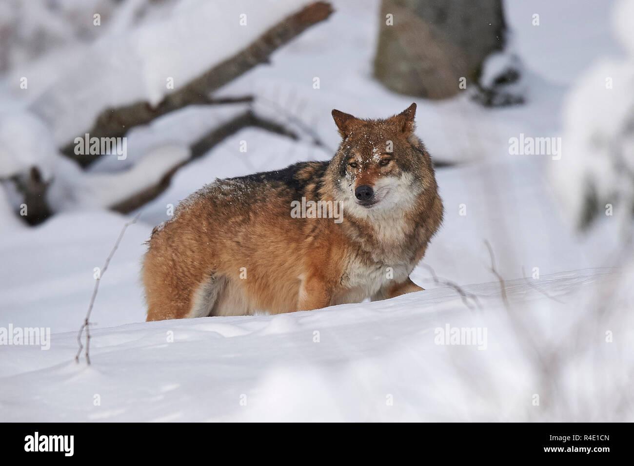 Ein europäischer Wolf im Schnee Stockbild