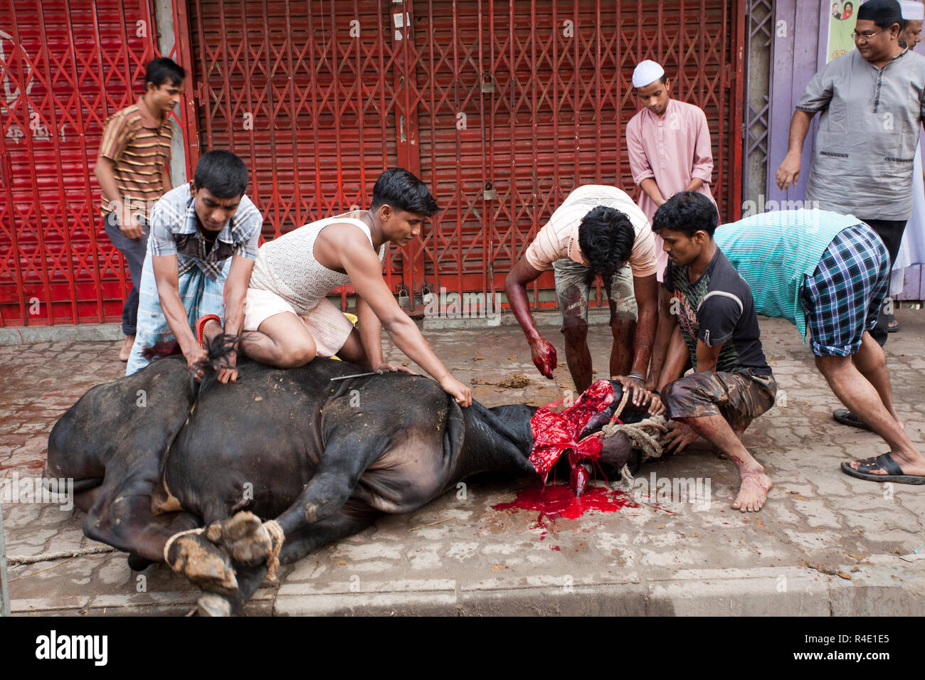 Schlachtung eines Tieres während einer der größten muslimischen feste Die Eid-ul-Azha, auch als der Eid des Opfers bekannt. Dhaka, Bangladesch. Stockbild