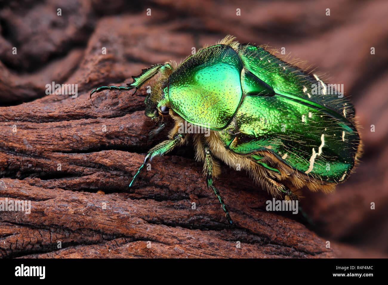 Extrem scharfe und detaillierte Foto von Skarabäus Insektennadeln (Cetonia aurata) Käfer. Das Bild wird von vielen Schüsse, die in einem scharfen Bild gestapelt. Stockbild