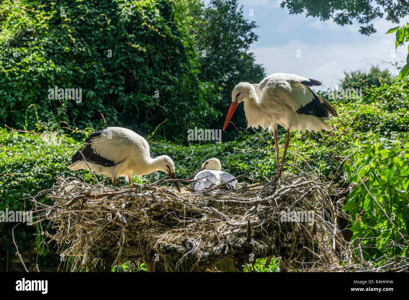 Nordfriesland, Storchennest im Storchengehege Wyk, Storchennest im Storchengehege Wyk Stockbild