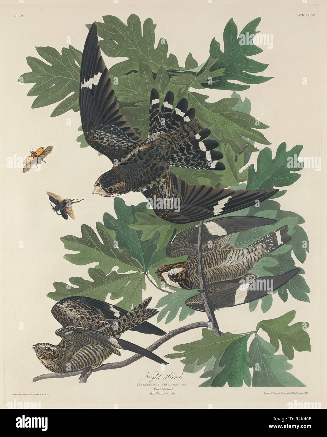 Night Hawk. Stand: 1832. Medium: Handcolorierte Radierung und Aquatinta auf Whatman Papier. Museum: Nationalgalerie, Washington DC. Autor: Robert Havell nach John James Audubon. AUDUBON, John James. Stockbild