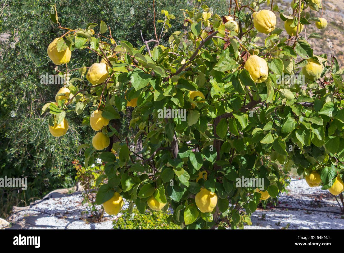 Cydonia oblonga, Gesichtscreme Quitte, Baum und Frucht Stockbild