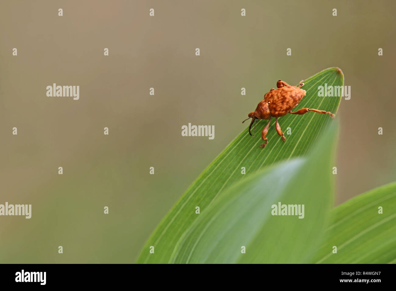 Rüsselkäfer curculio auf Salomon Dichtung Stockbild