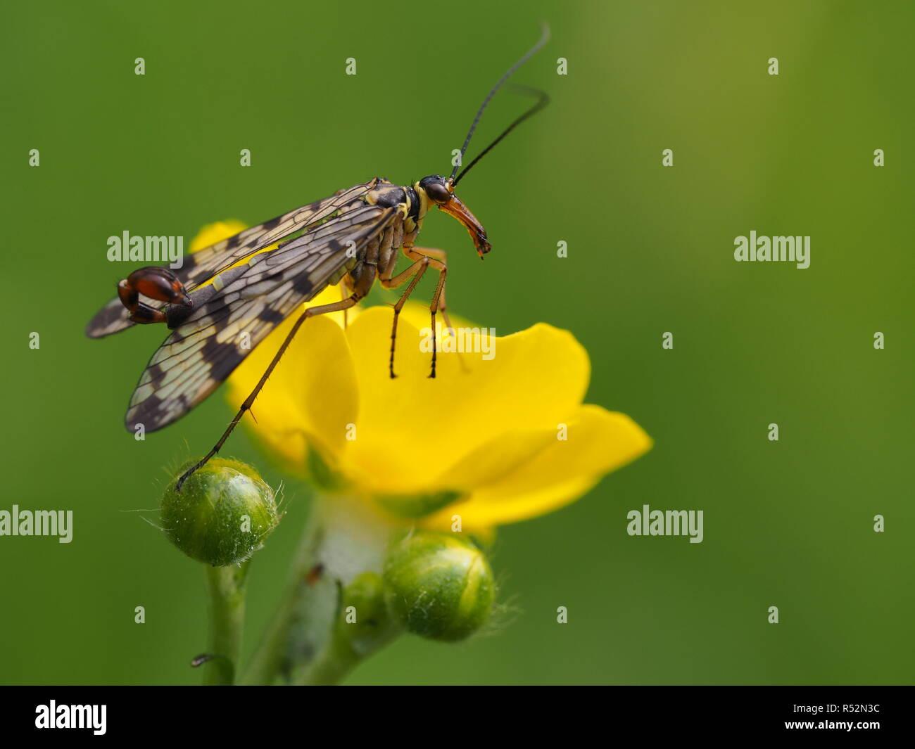 Skorpionsfliege Stockbild
