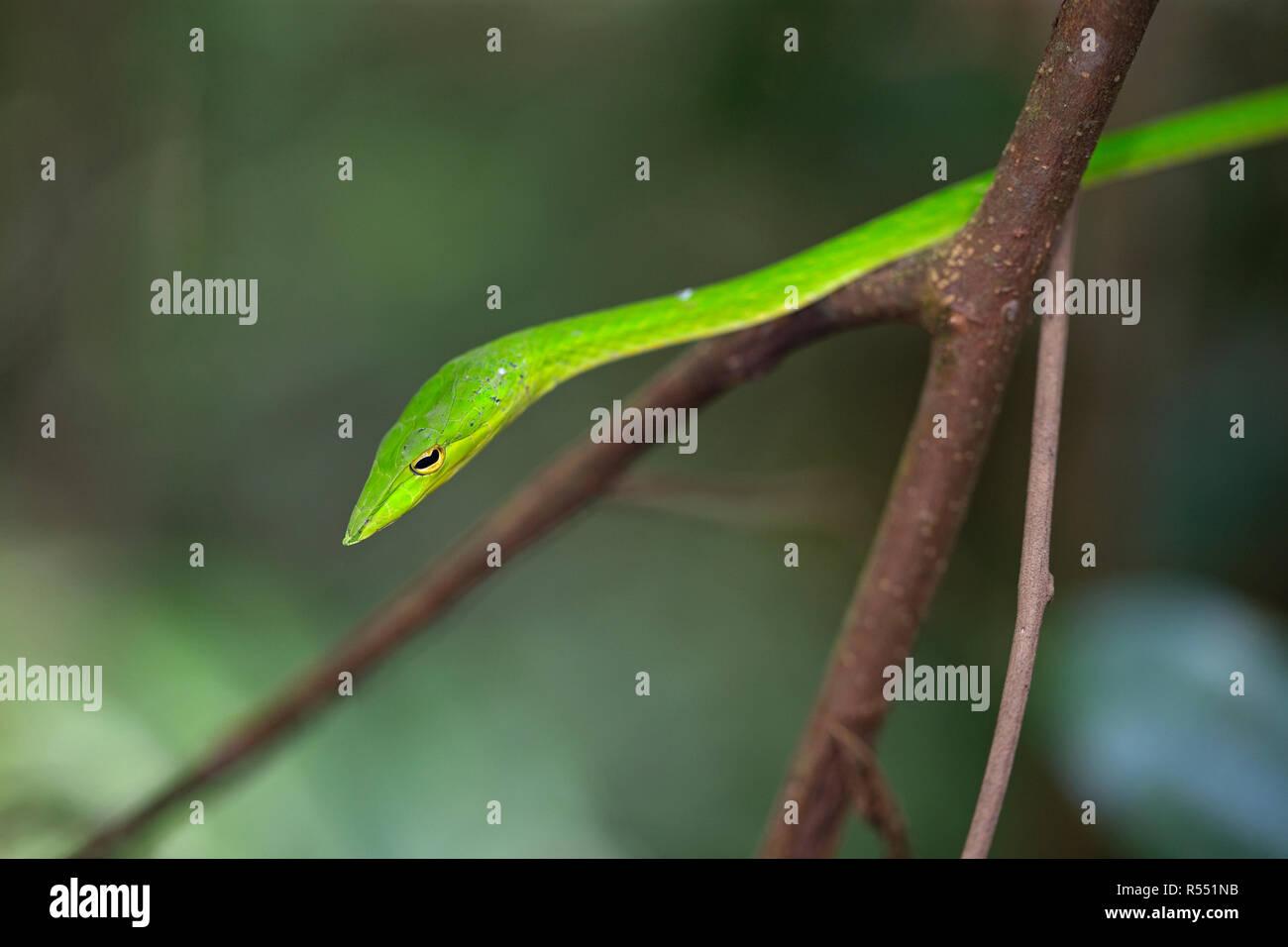 Grüne Ranke Schlange (Ahaetulla Nasuta) Stockfoto