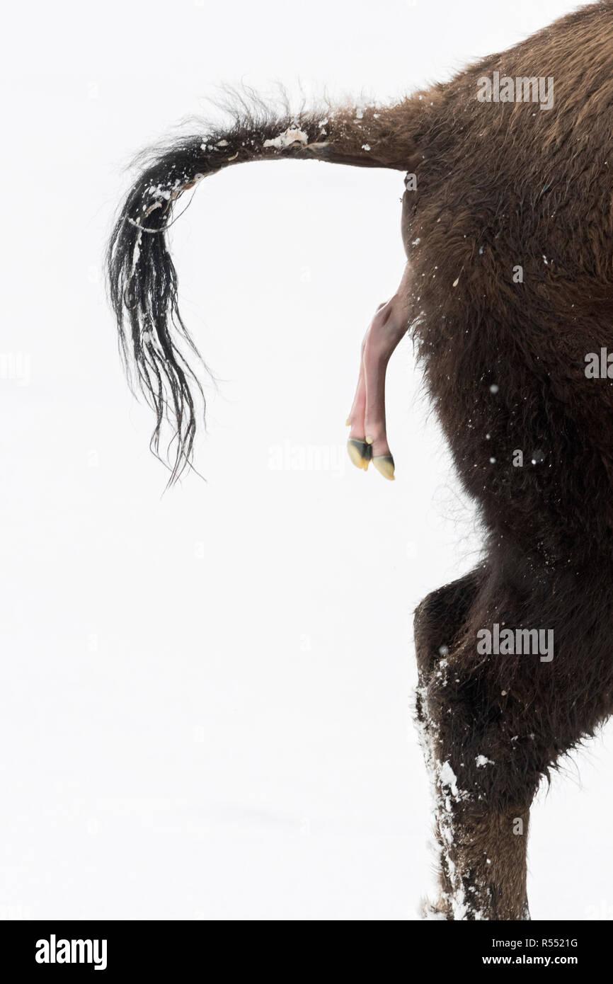 Amerikanischer Bison / Amerikanischer Bison (Bison Bison) gebiert ein Kalb in Winter, abortive Geburt im Schnee, Nahaufnahme, Februar, Yellowstone NP, Angeles Stockbild