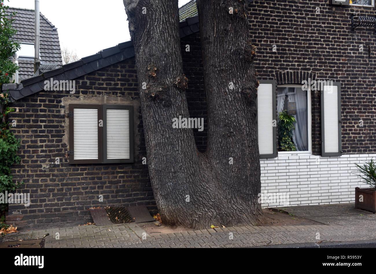 29. November 2018, Nordrhein-Westfalen, Düsseldorf: ein Doppelzimmer - der Stamm der Eiche steht ganz in der Nähe der Giebelwand eines kleinen brick House. Foto: Horst Ossinger/dpa Stockfoto