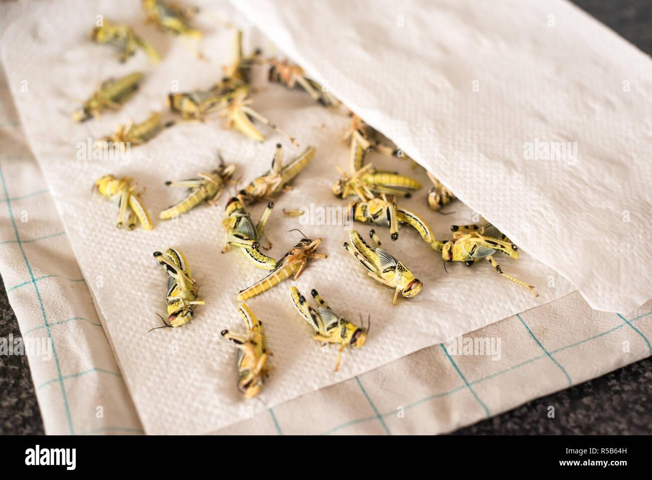 Kochen und Essen essbar Bugs, eine große Quelle von Protein und Fleisch alternative Stockbild