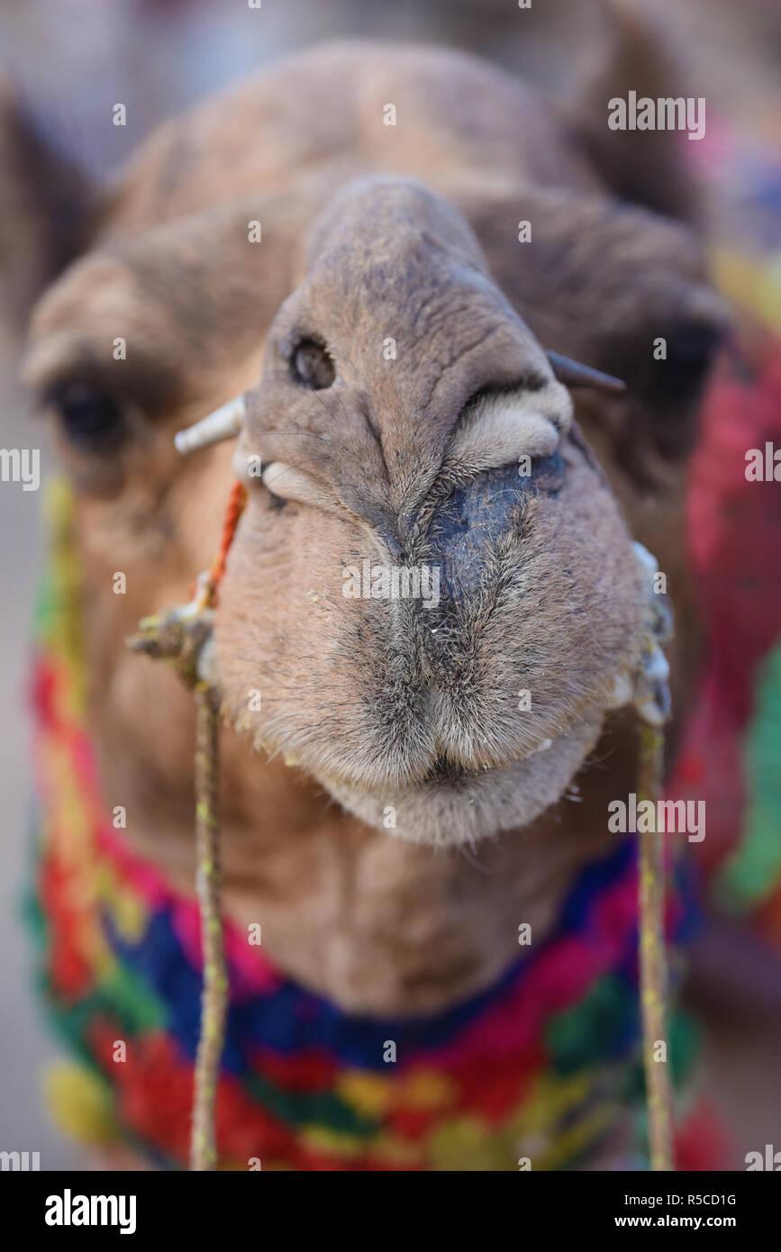 Eine dekorierte Kamel in Pushkar Camel Fair. Eine jährliche Vieh fair und kulturellen Fête in der Stadt Pushkar, Rajasthan, Indien, Asien statt. Stockbild