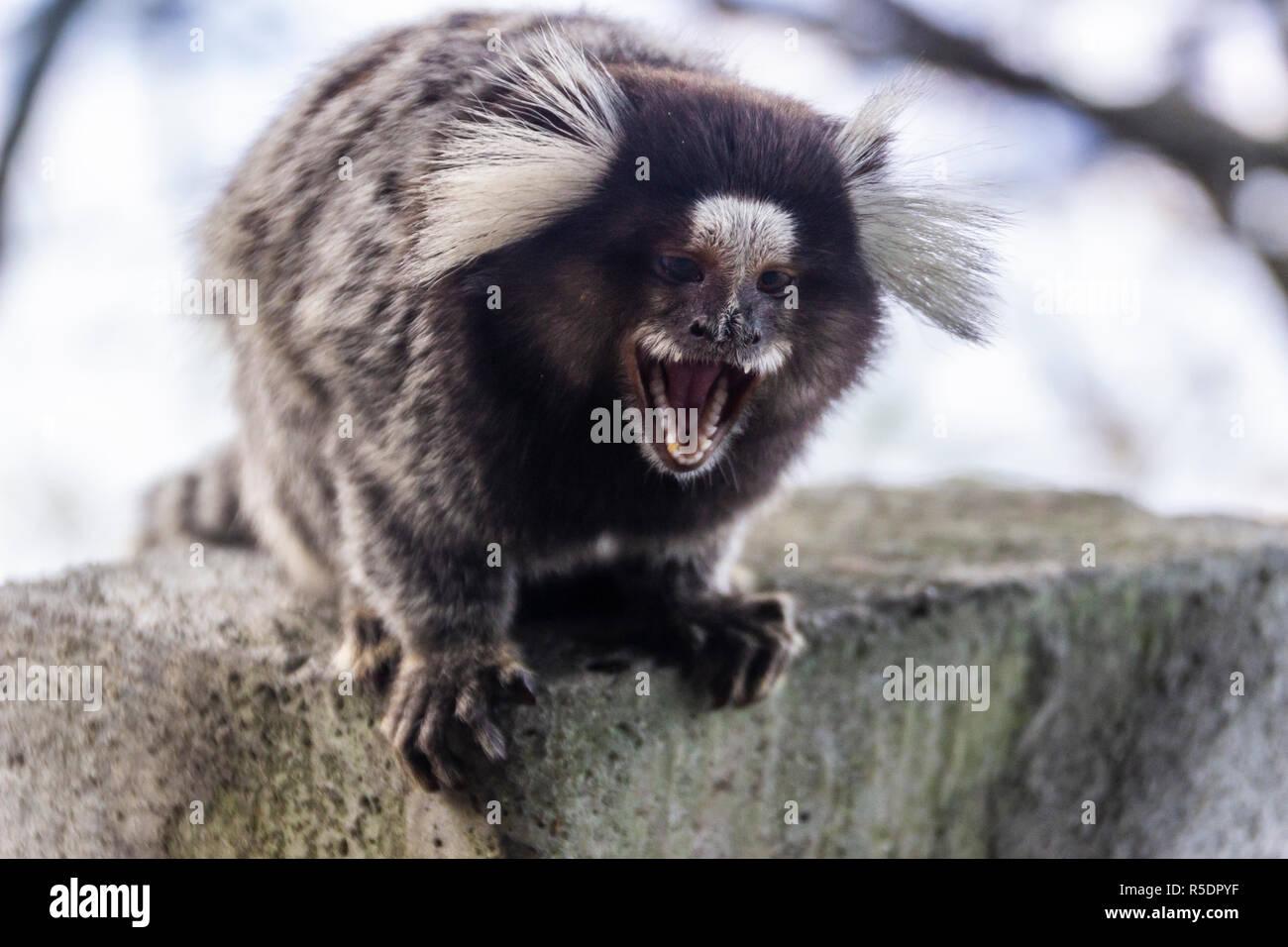 Ein Affe aus dem städtischen Gebieten von Rio do Janeiro in einer aggressiven Haltung während sein Mund öffnen droht uns zeigt uns seinen grossen und Schärfen der Zähne Stockbild
