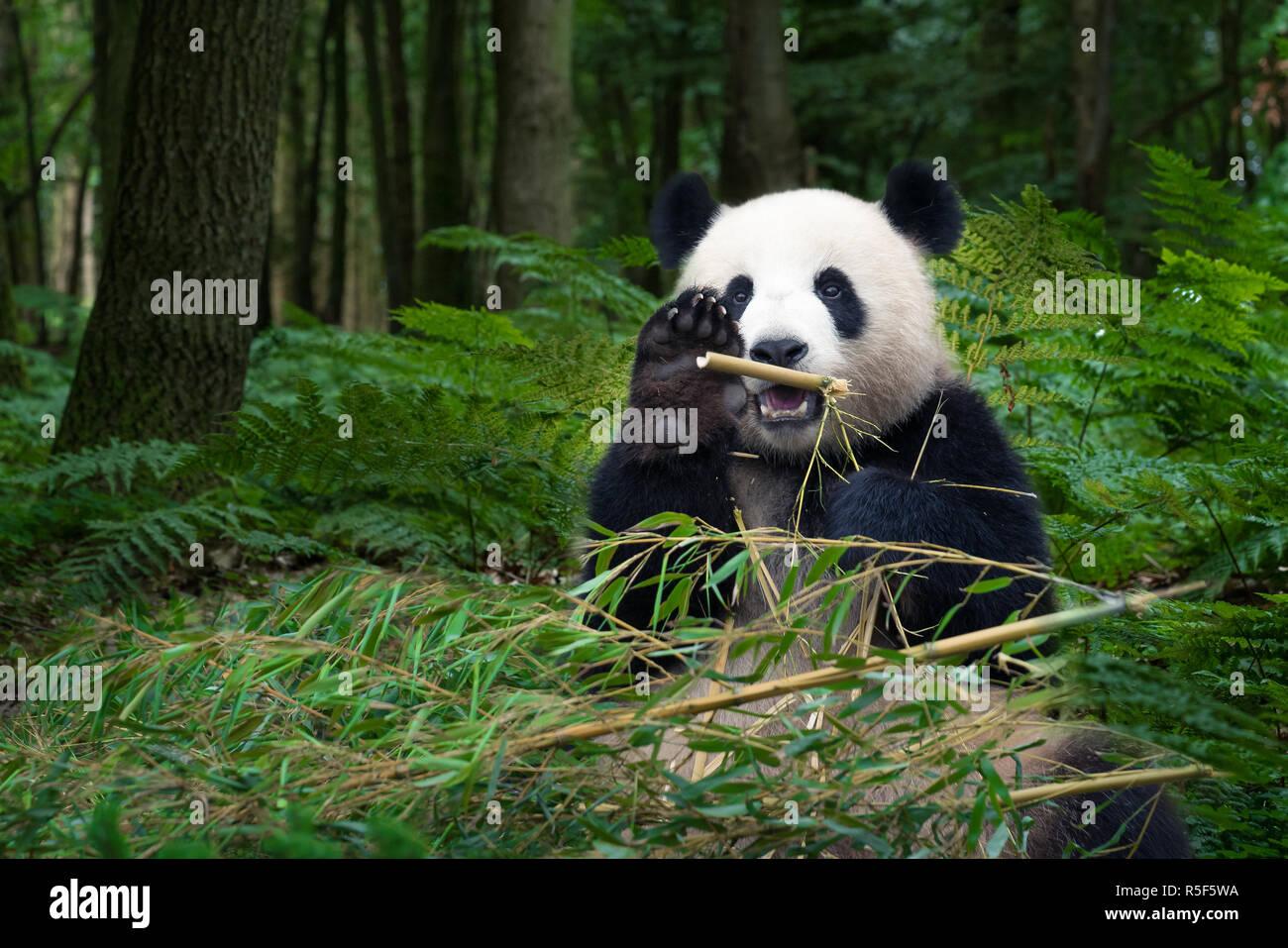 Panda Bar Sitzt Im Wald Bambus Essen Stockfoto Bild 227141974 Alamy
