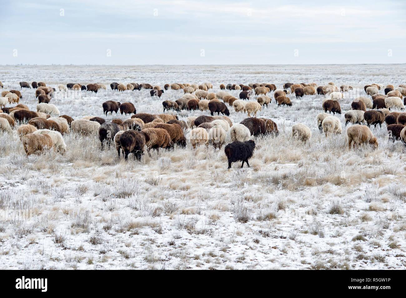Herde von Schafen auf der Weide im Winter. Stockbild