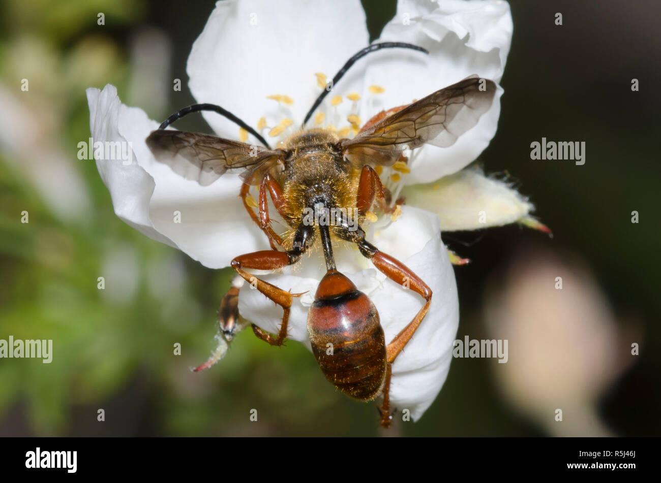 Gras - Durchführung von Wasp, Isodontia elegans, auf Apache Plume, Fallugia paradoxa Stockfoto