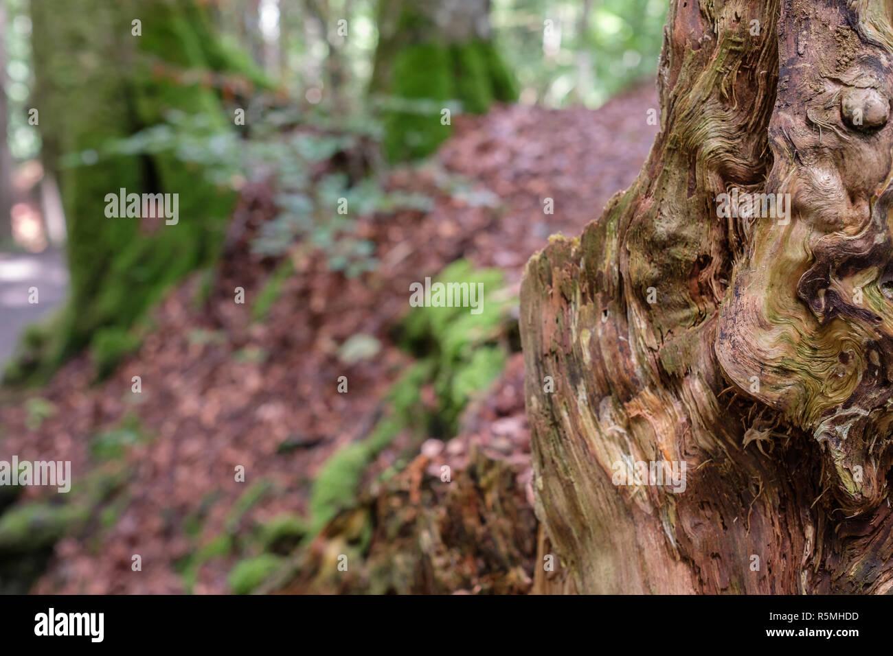 Maserung Holz bin gefällten Baumstamm der verrottet als Nahaufnahme Stockbild
