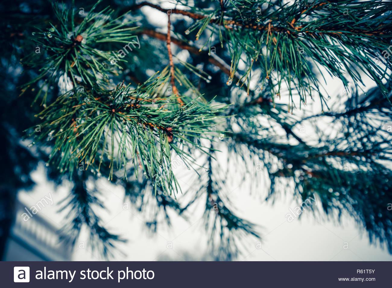 Tannenbaum Outdoor.Tannenbaum äste Eng Winter Park Outdoor Und Weihnachten Landschaft