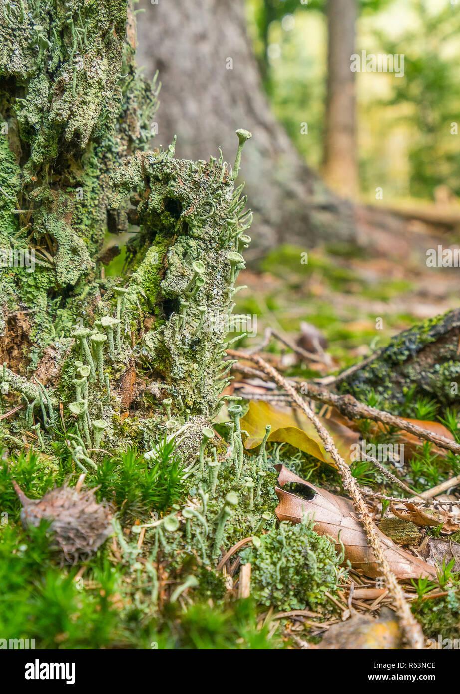 Closeup geschossen von einem dichten Bodendecker Vegetation auf einem Baumstamm mit Moos und Flechten in Wald Ambiente Stockbild