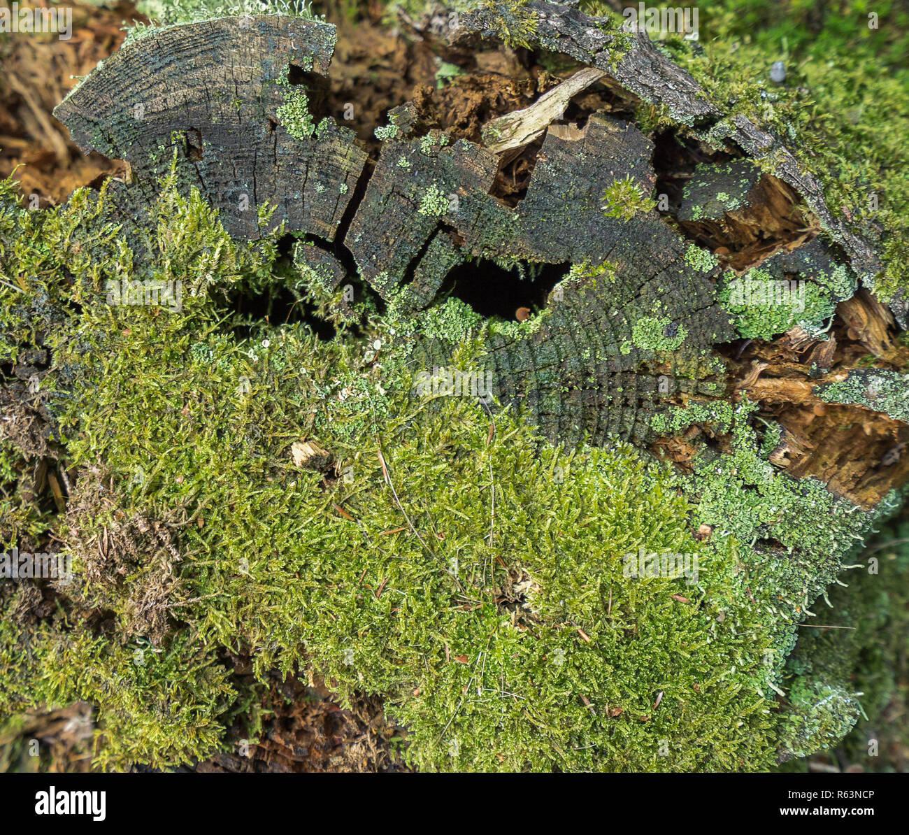 Nahaufnahme der faulenden Baumstamm mit Moos und Flechten in Wald Ambiente Stockbild