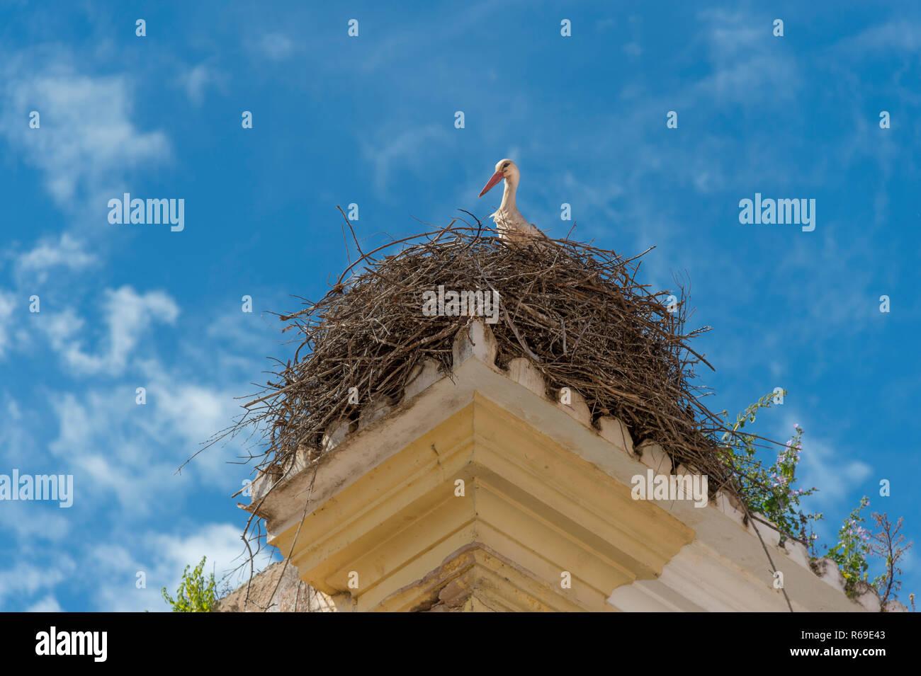 Ein Storch schaut über den Rand eines Nestes Stockbild