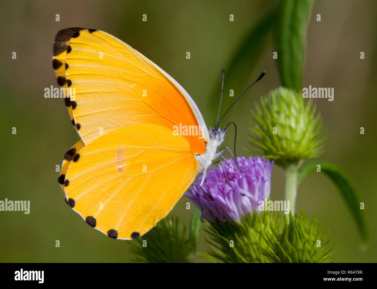 Eine häufig anzutreffende, langsam Fliegende butterflyof die 'Weiße' Familie, den gemeinsamen Punkt Grenze ohne weiteres auf bestimmte blühende Pflanzen während der Regenzeit angezogen wird. Stockbild