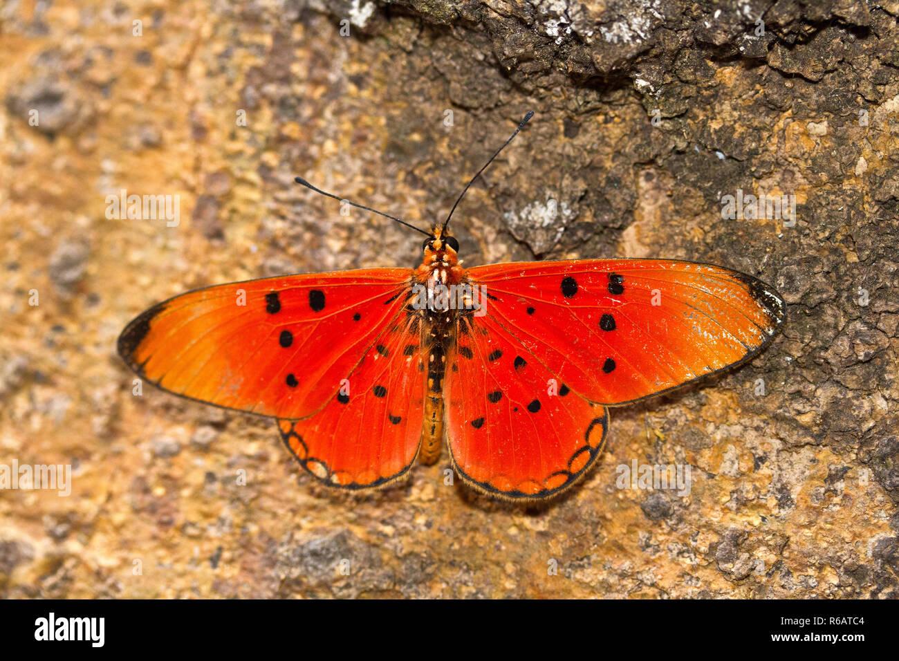 Die Feurige Acarea ist einer der heller gefärbt dieses gemeinsamen Schmetterling Familie und Teil der Bürste-footed Schmetterlinge, dass trotz vividl Stockbild